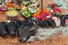 Heads of sacrificed animals during Chaitra Dasain festival in Kathmandu, Nepal - April 3, 2009