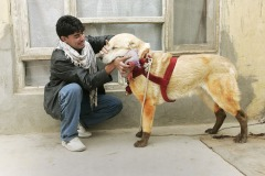 Naim makes massage by hot brick covered by cloth to his two year old dog-fighter Super before they will leave their house in Kabul, Aghanistan on November 26, 2004 for dog fighting in zhe district Chaman-e- Babrak. Photo Michal Novotny