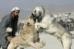 Dog fighting in the district Chaman-e-Babrak in Kabul, Afghanistan on November 26, 2004. Photo Michal Novotny
